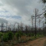 "loblolly pine: the ""Lost Pines"" of Bastrop, Texas"