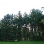 giant trees at White Pine Lodge