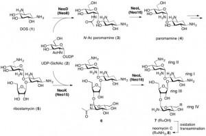 neomycin biosynthetic pathway