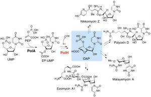 divergent-biosynthesis